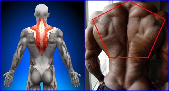 trapezius-muscle-traps